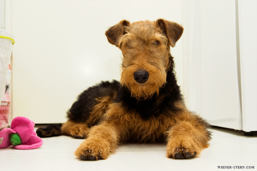 Airedale Terrier Foto